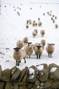 a_Nina_encore_des_moutons_d'hiver_et_des_pierres_!